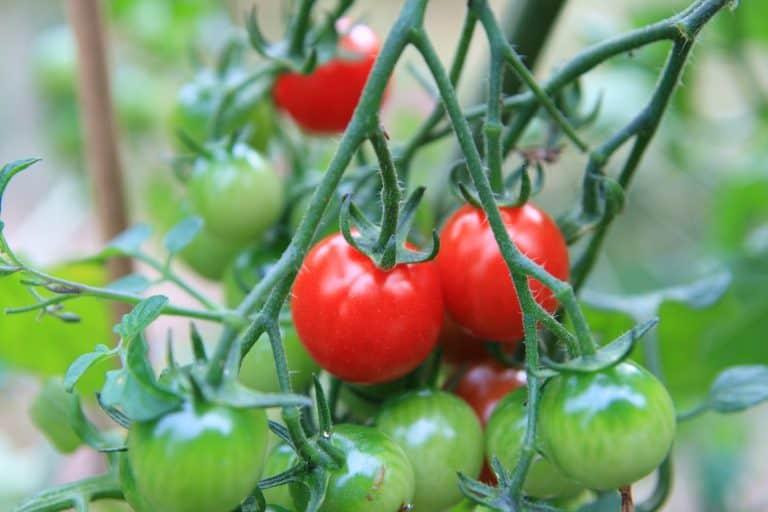 saving tomato seed