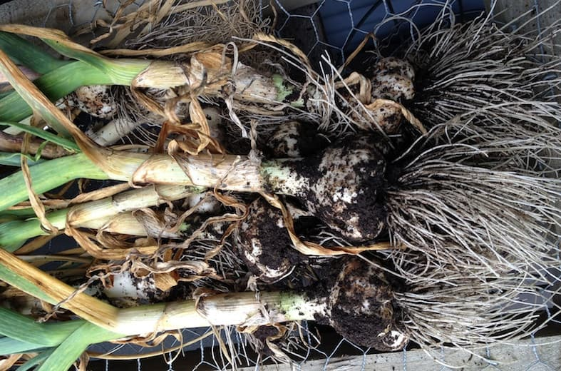 Harvesting The Garlic Plot