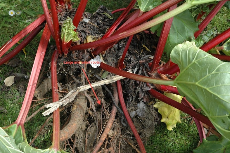 Dividing (Splitting) Up Rhubarb