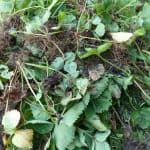 Edible Ground Cover