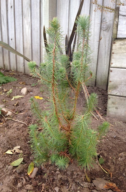 Marvelous How Long Does It Take A Christmas Tree To Grow Part - 4 ...