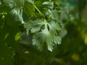 growing coriander