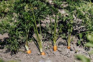 Thinning Carrots