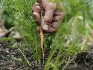 Thinning out carrots