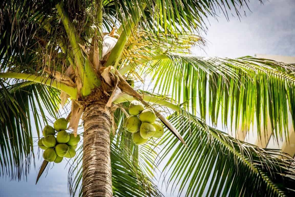 Coconut Tree Growth And Care
