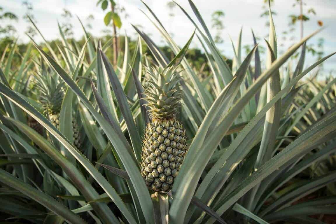 How To Grow Pineapple Plants Using Seeds