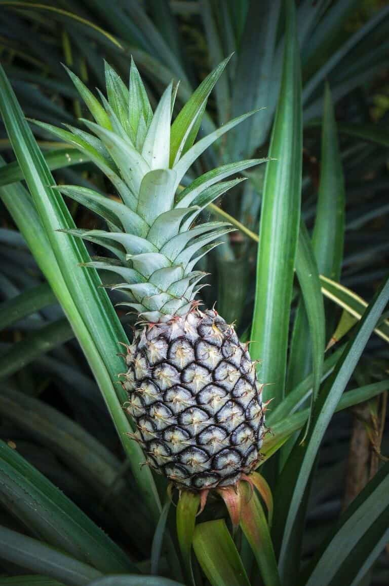 How To Grow Using Pineapple Plant