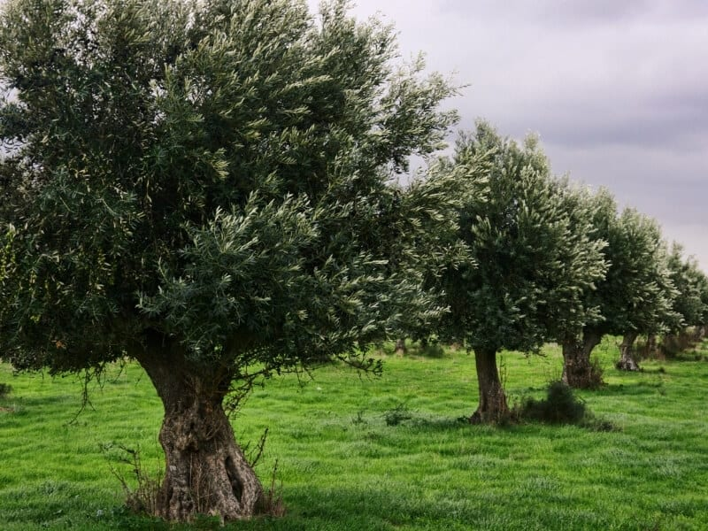 Air Layering Olive Trees