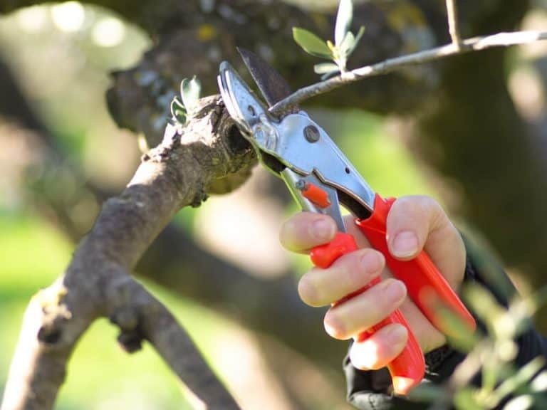Grow Olive Trees from Cutting