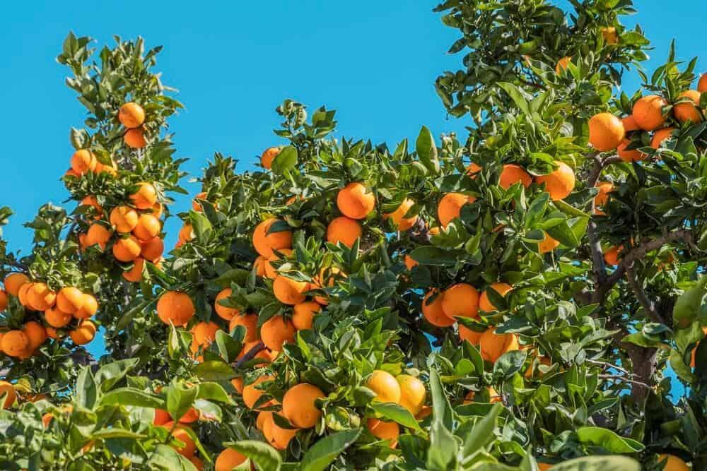 Grow Orange Fruits