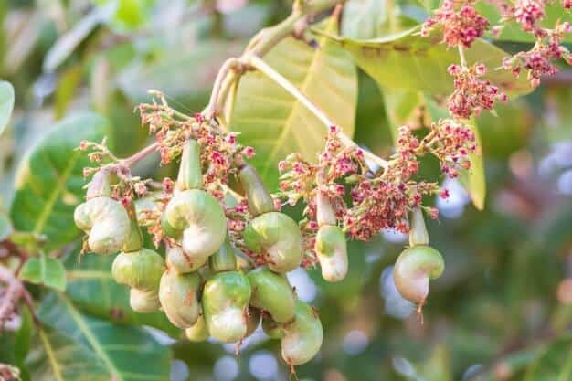 Growing a Cashew Tree from its Seeds