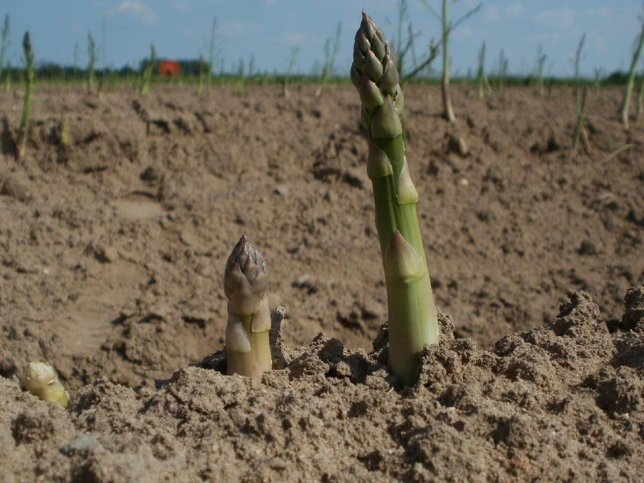 How to Plant Asparagus Bare Root
