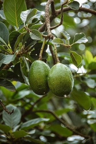 Avacodo Plant with fruit